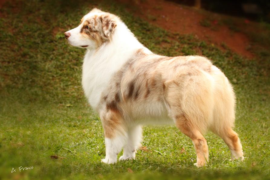 Apariencia los pastores australianos son perros de tama 241 o mediano