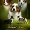Pastor Australiano - Anuário de Cães